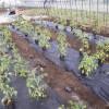 トマトの苗植えをしました。