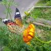 蝶が舞っていました。