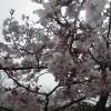 桜満開の阿蘇です。