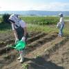白菜植えをしました。