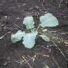 サトイモ、キャベツ、ブロッコリーを植えました。
