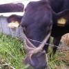 子牛もいつのまにか大きくなっていました。