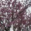 満開の桜の下で、長老竹原氏(97歳)は、今日も元気です。
