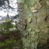 去年は柿木にたくさんいた毛虫が、今年はモミの木に大発生。一匹一匹とっていきました。