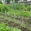 ピーマンやナスビの苗が大きくなってきたので、添え木をしました。
