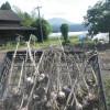 大地の恵みは生きてました。ジャガイモとニンニクの収穫に感謝です。