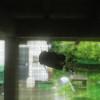 久々に雨がやみ、蝉もホッとしてやってきてくれました。