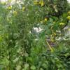 レタス植えをしました。