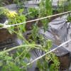 パンづくりが終わってから、トマトの苗植えもしました。