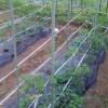 パンづくりが終ってからお薬師堂の草取りをしました。ビニールハウスのトマトもだいぶ伸びて、実も大きくなってきました。