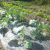 今日も皆で活動しています。野菜も元気に育ってます。