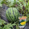 トマトの収穫をしました。スイカも大きくなっていました。
