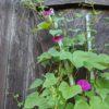 朝顔も咲き、ナスビも大きくなりました。少し日が落ちてから、農園の生垣を修理しました。
