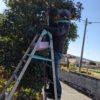 ご近所のお一人暮らしの方に頼まれて柚子の収穫をしました。道路際の石垣に脚立を置いての作業だったので、とても緊張しました。